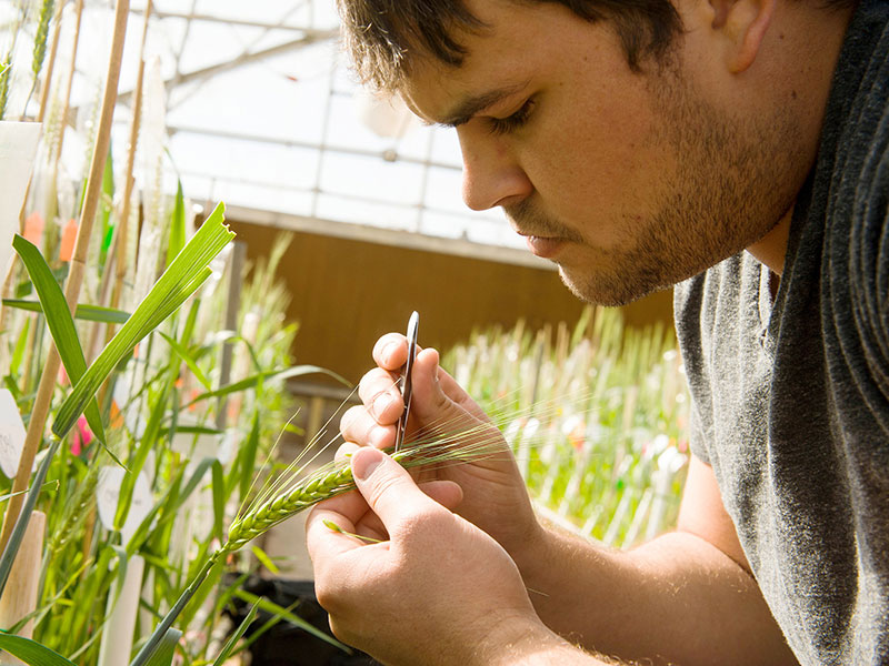 A student collects research samples from a stalk of wheat.